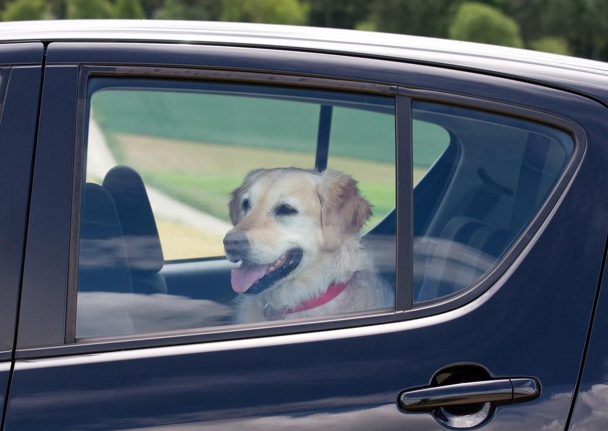 perro llevar mascotas en el auto